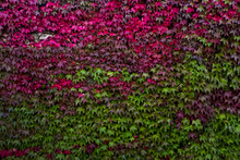 Bright Wall Decorated With Fall Vine Leaves