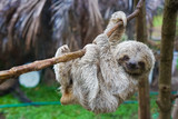 Fototapeta Animals - Baby Sloth in Tree in Costa Rica