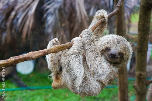 Tela Baby Sloth in Tree in Costa Rica