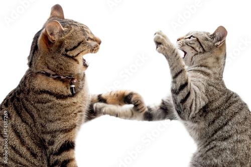 猫の素材 Tableau sur Toile