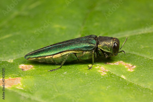 Emerald Ash Borer Side View Canvas Print