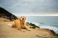 Golden Retriever Dog Lying On ...
