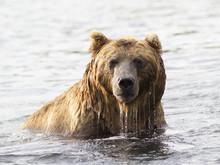 Brown Bear In Water. Closeup P...