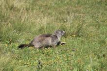 Marmottes, Parc Du Grand Paradis