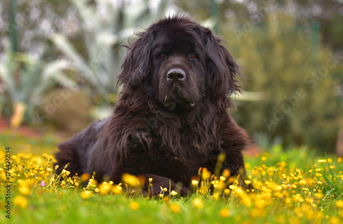 Fotografía newfoundland dog