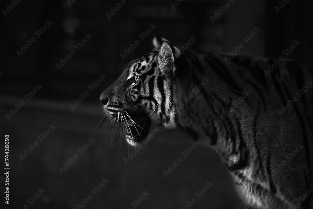 Stampe  amazement tiger