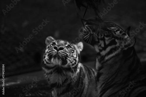 Stampa su Tela  double tiger