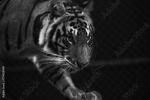 Stampe  tiger prowl stare