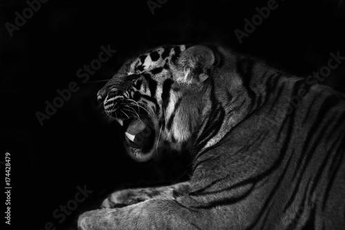 Stampe  tiger roar