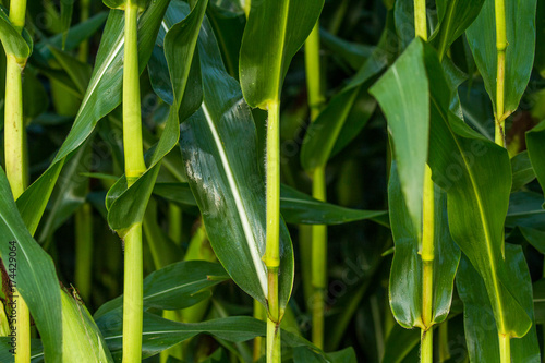 Corn stalks Canvas-taulu