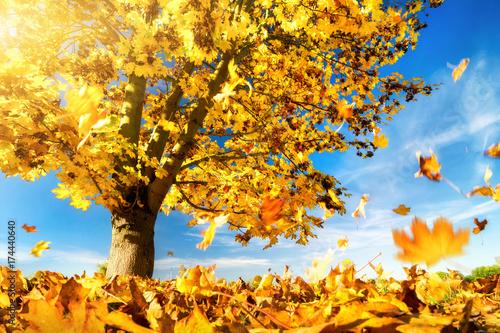Plakat Żółte liście spadają na ziemię, klon drzewo w piękny jesienny dzień