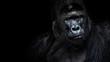 Leinwandbild Motiv Male gorilla on black background, Beautiful Portrait of a Gorilla. severe silverback, anthropoid ape
