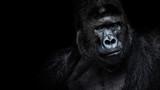 Fototapeta Zwierzęta - Male gorilla on black background, Beautiful Portrait of a Gorilla. severe silverback, anthropoid ape