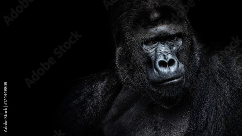 Foto op Plexiglas Aap Male gorilla on black background, Beautiful Portrait of a Gorilla. severe silverback, anthropoid ape