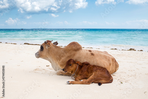 Fotobehang Leeuw African cows are resting on the beach