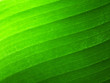 The texture of the banana leaf of the plant. Green color