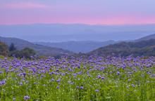 Phacelia Flowers Field And Purple Sunset Sky Background
