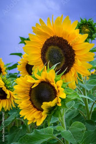 In de dag Zonnebloem Sonnenblumen, Sunflowers