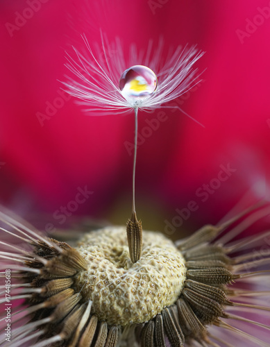 Photo art macro. A dandelion seed with a drop of water and a flower reflection on a saturated bright crimson pink background. Abstract expressive artistic image of the beauty of nature.