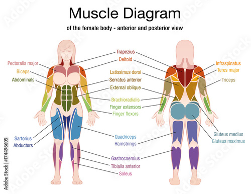 Muscle diagram of the female body with accurate description of the most important muscles - front and back view - isolated vector illustration on white background Fototapet