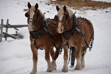 Winter  Clydesdale Horses