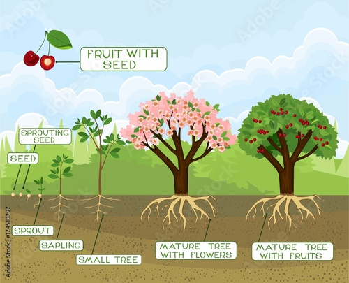 Foto op Canvas Lichtblauw Plant growing from seed to cherry tree with captions. Life cycle of tree. Tree with root system