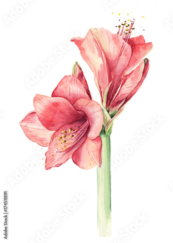 Watercolor amaryllis Canvas Print