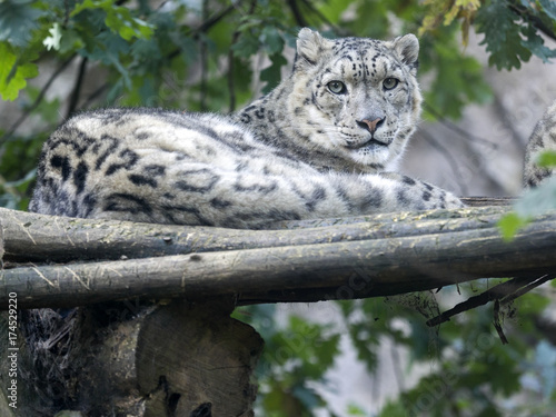 Snow Leopard Uncia Ucia Hidden In Branches Buy This Stock Photo
