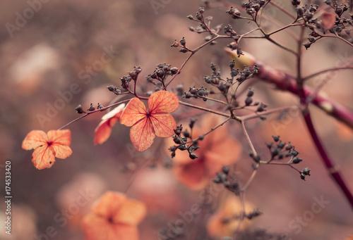 Staande foto Hydrangea Verblühte Hortensien im Gegenlicht