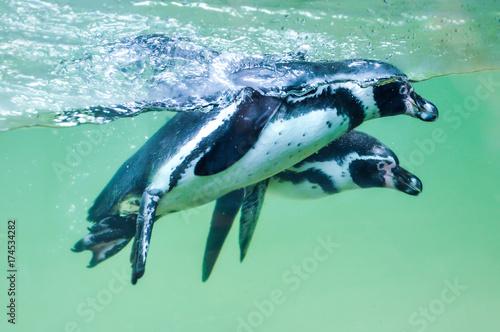 Magellanic penguins (Spheniscus magellanicus) in water