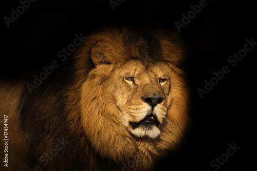 Zdjęcie XXL lew na czarnym tle