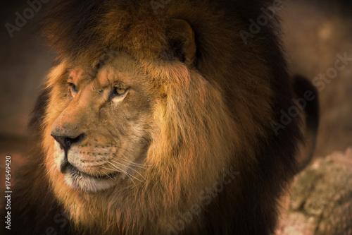 Fototapety, obrazy: Berber Lion