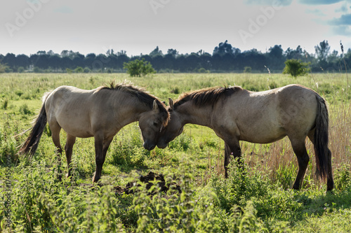 Canvas Prints Horses wild horses