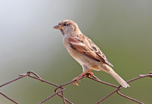 Male House Sparrow Sits On Fen...