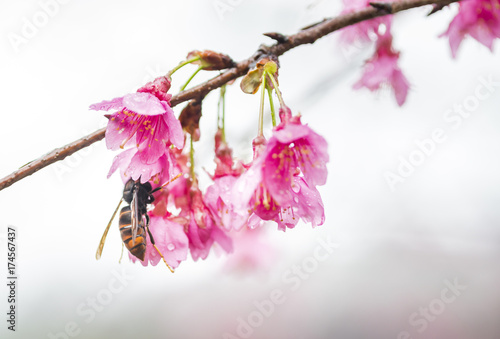 Wasp resting on Taiwan Cherry and sucking in bud