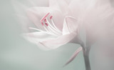 Fototapeta Kwiaty - single dreamy surreal white flower
