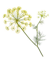 Branch Of Fresh Green Dill Herb Leaves Isolated.  Flowering Plant Dill.