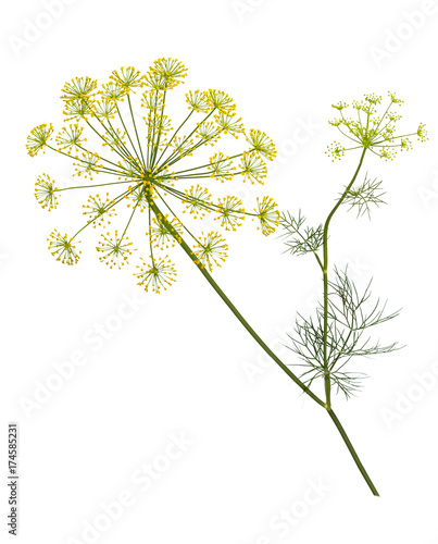 Tela Branch of fresh green dill herb leaves isolated