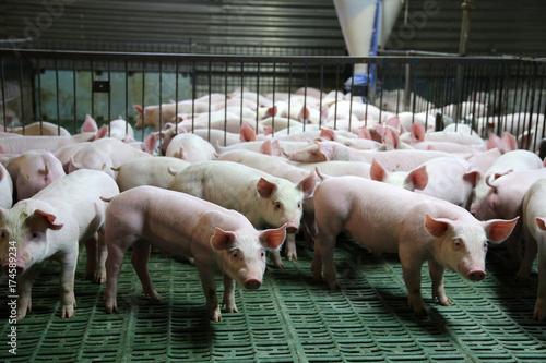 Obraz na plátně  Young domestic breed piglets growing on modern animal farm