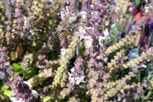 European Wool Carder Bee On Blooming Basil Herb. Wild Solitary Bee