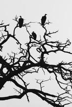 Vultures In Dead Tree
