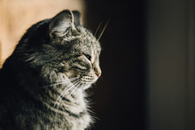Close Up Of Grey Tabby Cat With Eyes Half Closed