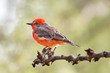Vermillion Flycatcher on Branch