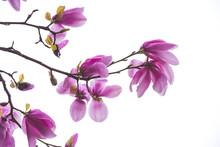 Colorful Magnolia Tree Flowers