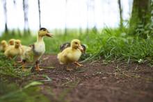 Ducklings Outdoor