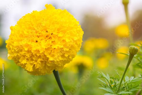 Plakat Zamyka w górę pięknego nagietka kwiatów w ogródzie.