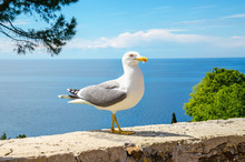 White Seagull Standing On A St...