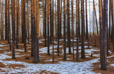 Pine trees in the spring forest