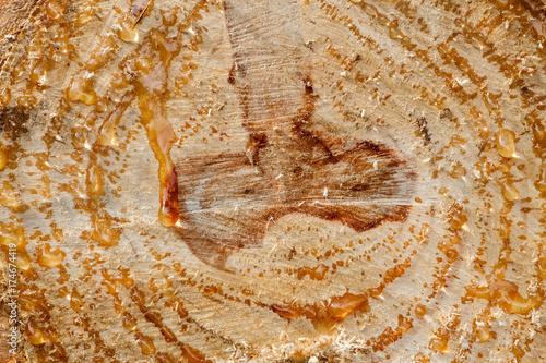 Fotografie, Obraz  Corte en tronco de Pino piñonero. Pinus pinea.