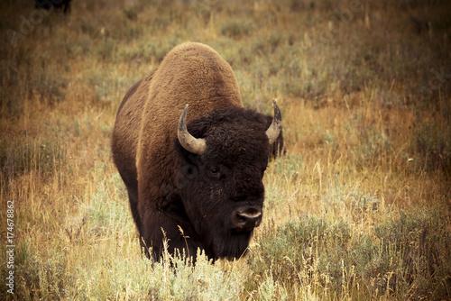 Foto op Canvas Bison Bison in Hayden Valley